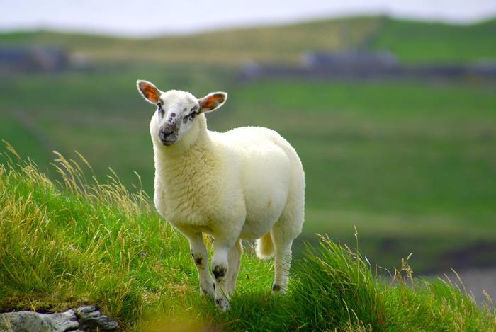attività per famiglie: alla scoperta degli animali dolomitici: Lupi e Pecore
